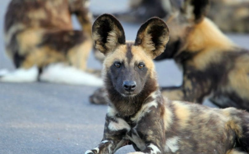 8 Wild Animals You Won't Believe Are Related To Your Dog