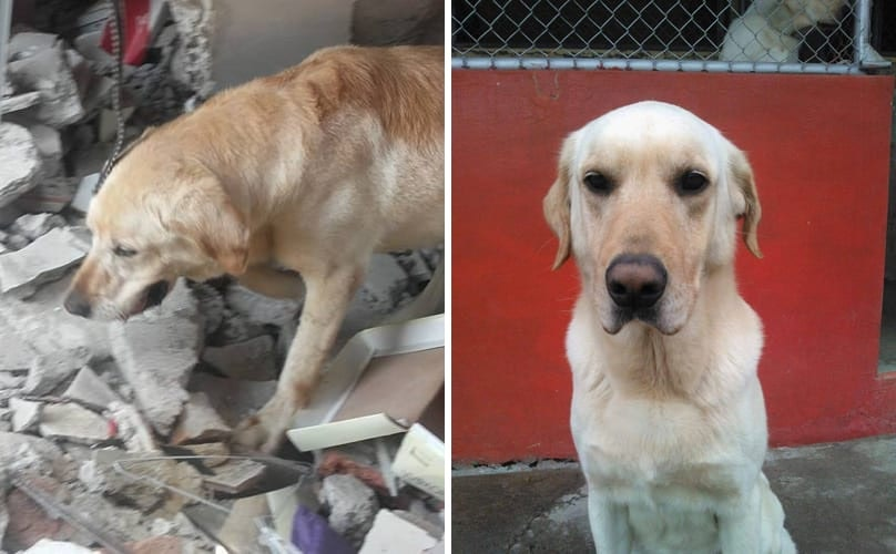Dedicated Search And Rescue Dog Dies After Saving 7 People Trapped In Earthquake Rubble