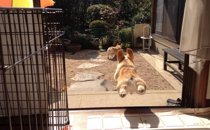 Related: 12 Corgis Whose Magical Fluffy Butts Give Them The Power Of Levitation
