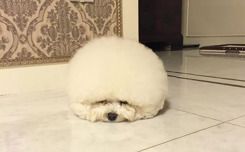 Fluffy Bichon Frise Might Just Be A Cotton Ball With A Face