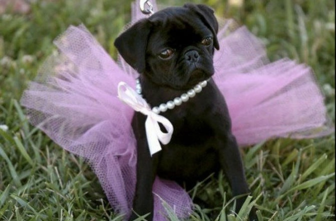 Related: 22 Pugs Who Dress To Impress For Every Occasion