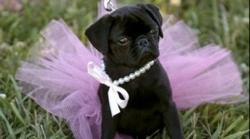 22 Pugs Who Dress To Impress For Every Occasion