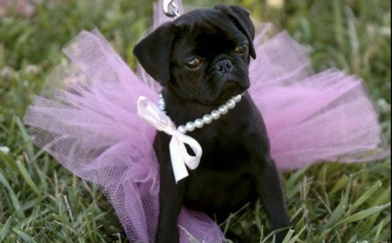 4fa3717a16e 22 Pugs Who Dress To Impress For Every Occasion - BarkPost
