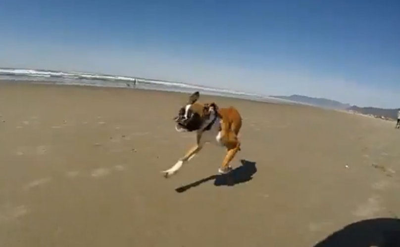 Two-Legged Boxer Pup Has The Time Of His Life At The Beach