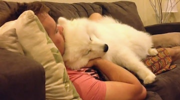 Marshmallowy Samoyed Politely Asks Human For Some Lovin'