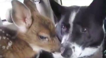 Bear Scaring Dog Plays Foster Dad To Tiny Lost Fawn. Cuteness Ensues.