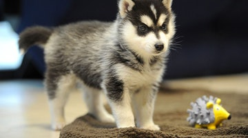 Abandoned Husky Pup Has 500 Offers, Shelter Still Holding Out for Parents