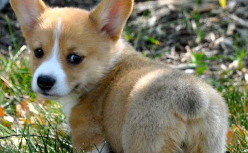 17 Beautiful Corgi Butts Out To Break The Internet