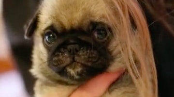 Glorious Baby Pug Loaf Can't Get Enough Of Mom's Hair