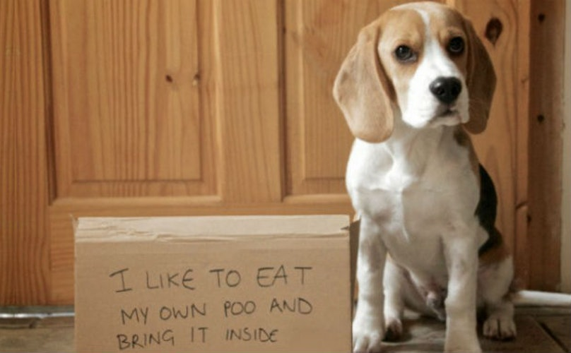 18 Beagles Who Are Almost Too Stubborn For DogShaming. Almost