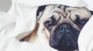 17 Soulful Pugs In The Midst Of An Existential Crisis About Food