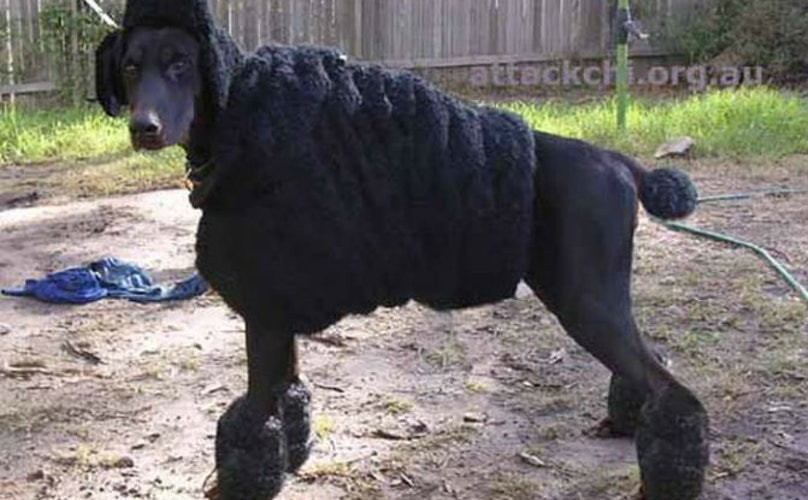 This Doberman Is Disguised As A Poodle Because He's A Fugitive In His Own Home