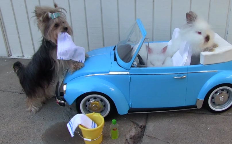 Hardworking Yorkie Pup Washes Car For Her Bunny Friends