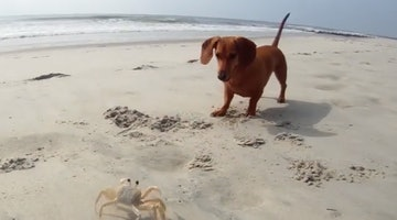 Doxie And Crab Have Ridiculous Scuttle-Off