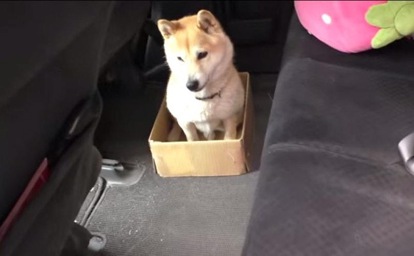 Stubborn Shiba Inu Tries To Fit Into Magical Shrinking Box, Will Not Be Deterred By Reality