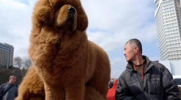 Once Beloved, The Tibetan Mastiff Is No Longer Popular In China
