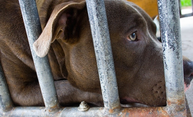 Here's Why You See So Many Pit Bulls In Shelters