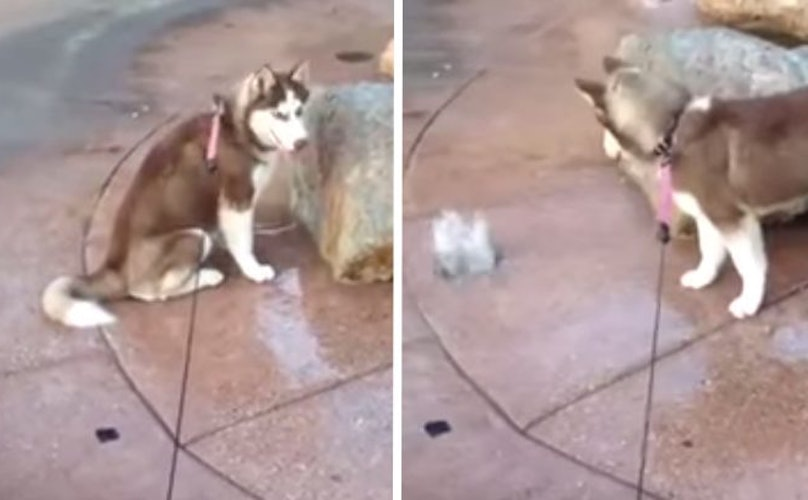 Surprised Husky Gets An Unexpected Butt Wash