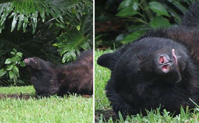 Large Bear Falls Asleep On Man's Lawn After Eating 20 lb Bag Of Dog Food