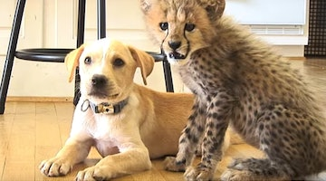 Dog And Cheetah Were Both Abandoned, Now They've Bonded For Life
