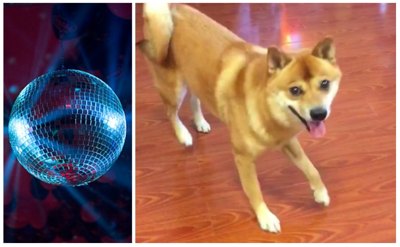 10 Reasons The Internet Is Obsessed With This Dancing Shiba