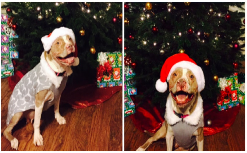 After Surviving Severe Abuse, This Pittie Gets A Forever Home Just In Time For Christmas