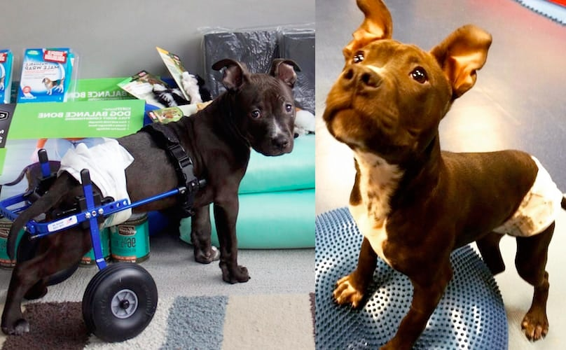 Related: Partially Paralyzed Pit Bull Puppy Lieutenant Dan Is Learning To Walk (Be Still Our Hearts)