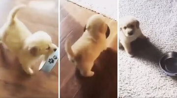 Demanding Little Puppy Hopes Dragging His Bowl Across The Room Will Get His Point Across