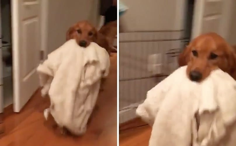 Golden Retriever Pup Ain't Going Nowhere Without His Blankie