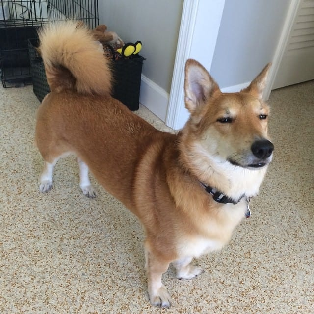 24 Breeds That Are Mixed With Corgi Barkpost