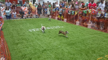 The Running Of The Chihuahuas Is Way Better Than The Running Of The Bulls