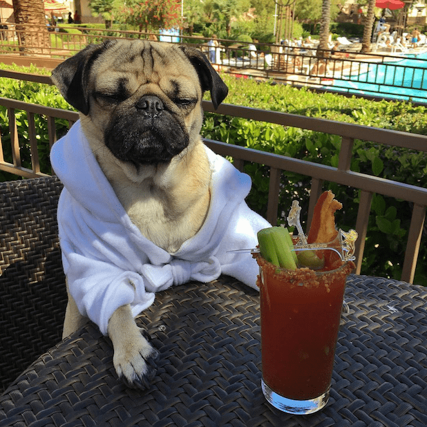Doug the Pug with a drink
