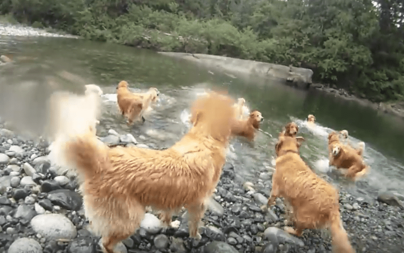 It's Summer, Have a Golden Retriever Swimming Party