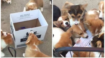 These Corgi Puppies Swarming A Wine Box Will Be All Of Us After Work Tonight