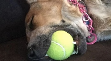15 Dogs So Exhausted They Fell Asleep With Their Favorite Toy In Their Mouth