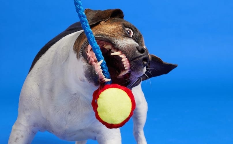 Why Do Dogs Play With Toys?