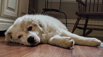 Great Pyrenees Breed Information Guide: Quirks, Pictures, Personality & Facts
