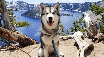 Alaskan Malamute Breed Information Guide: Quirks, Pictures, Personality & Facts