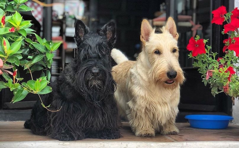Scottish Terrier Breed Information Guide Quirks Pictures Personality Facts Barkpost