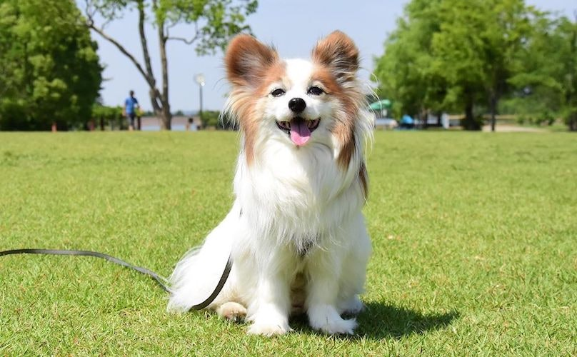 Papillon Breed Information Guide: Quirks, Pictures, Personality & Facts