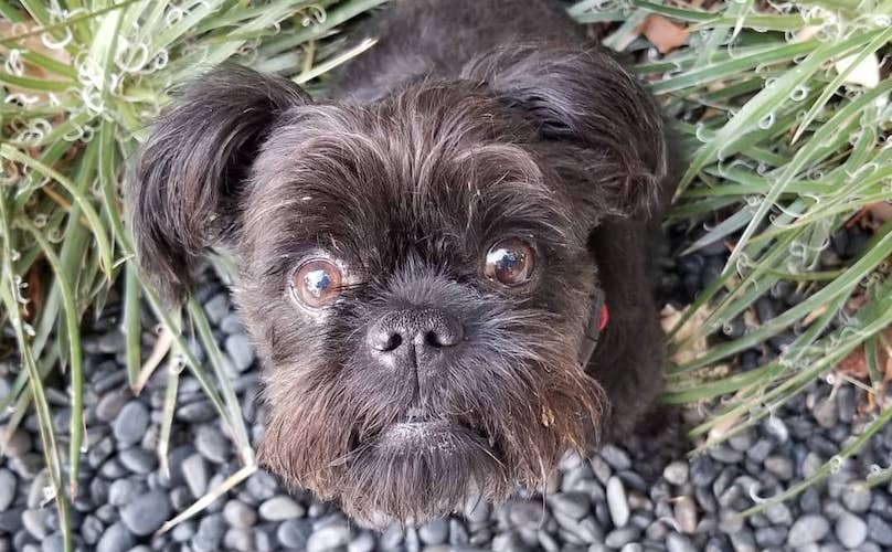 Affenpinscher Breed Information Guide: Quirks, Pictures, Personality & Facts